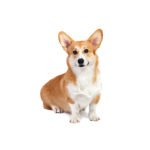 Petland Orlando South Pembroke Welsh Corgi