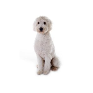 Goldendoodle Puppies - Petland Orlando East
