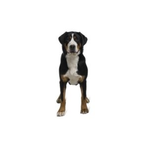 Great Swiss Mountain Dog Puppies - Petland Orlando East