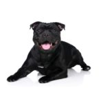 Petland Orlando South Staffordshire Bull Terrier