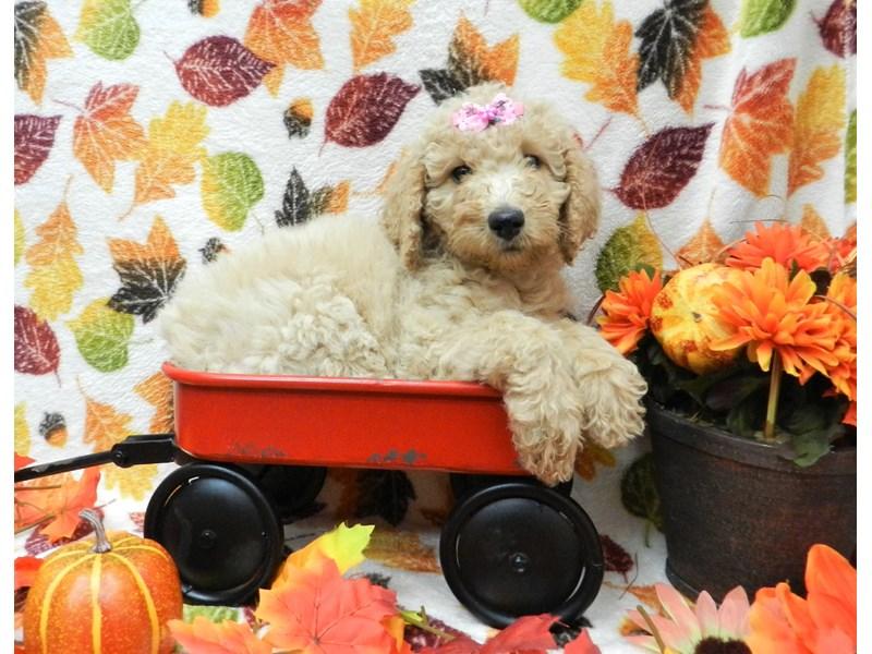 Poodle-Female-Apricot-2525550-Petland Orlando South