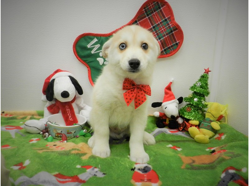 Pomsky-Male-Red and White-2556564-Petland Orlando South