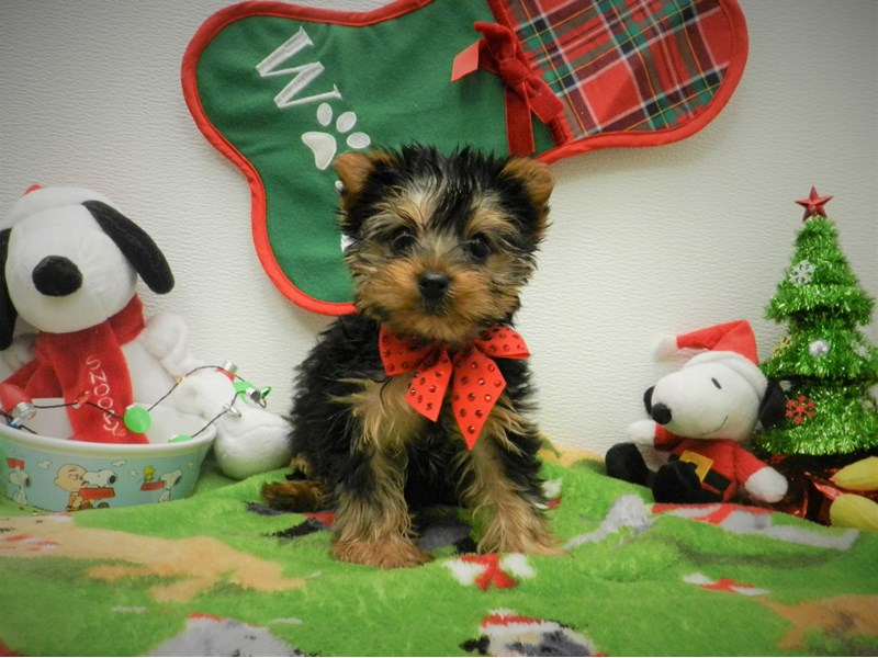 Yorkshire Terrier-Male-Black and Tan-2556421-Petland Orlando South