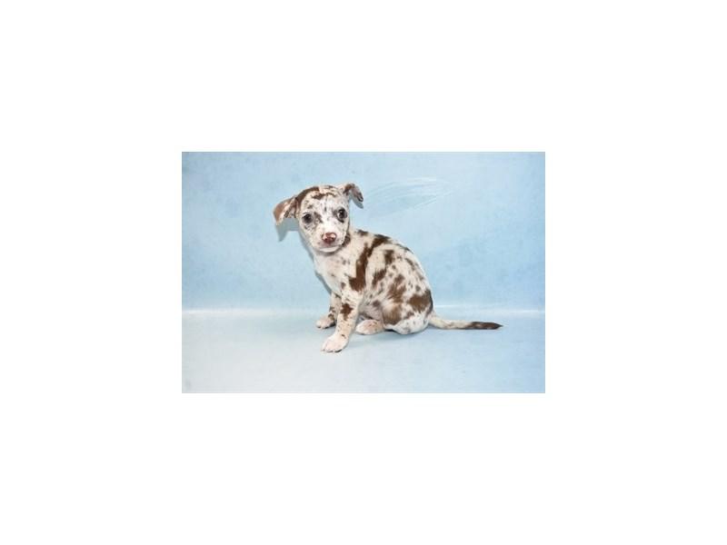 Chihuahua-Male-Chocolate-2562676-Petland Orlando South