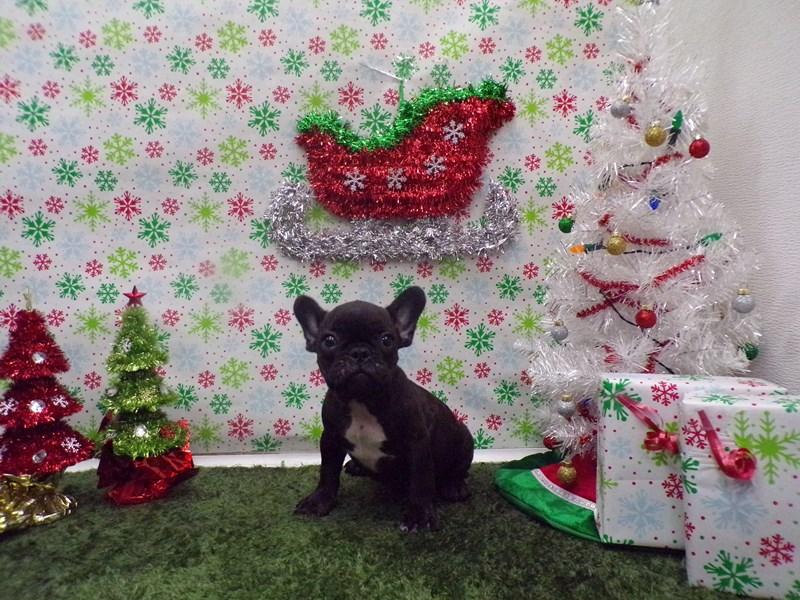 French Bulldog-Male-Brindle-2562076-Petland Orlando South