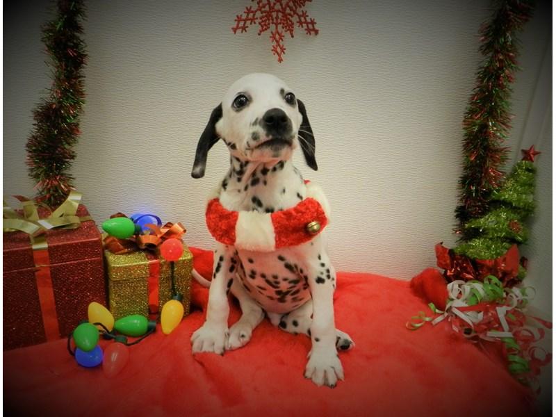 Dalmatian-DOG-Male-White and Black-2568581-Petland Orlando South