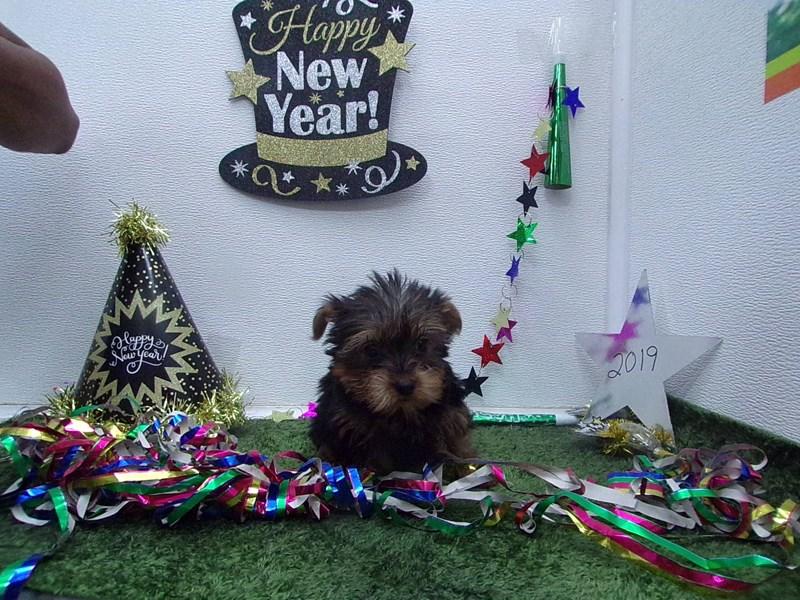 Yorkshire Terrier-Female-Black and Tan-2574966-Petland Orlando South