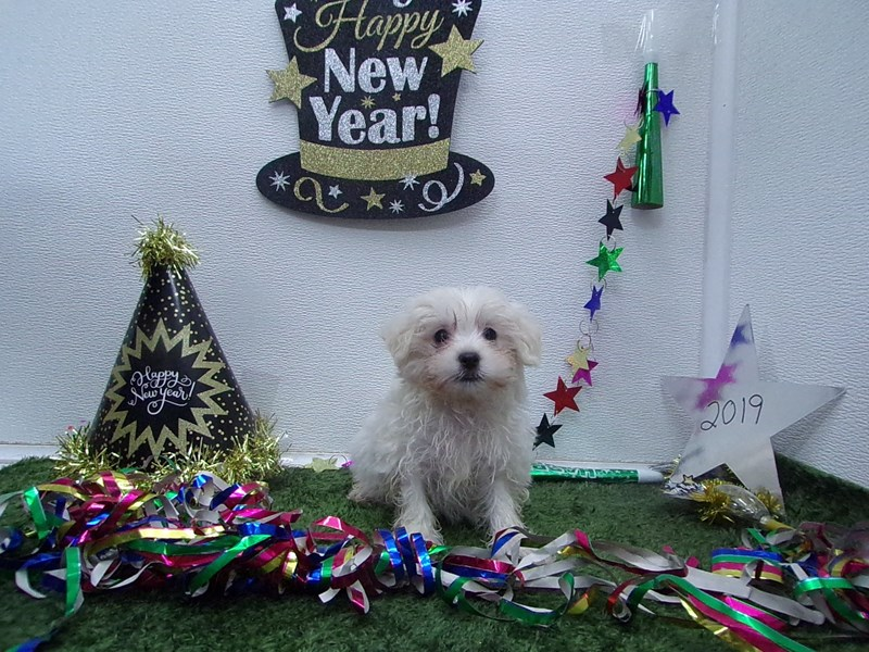 Maltese-Male-White-2574965-Petland Orlando South