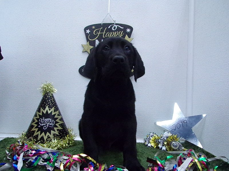 Labrador Retriever-Male-Black-2574515-Petland Orlando South