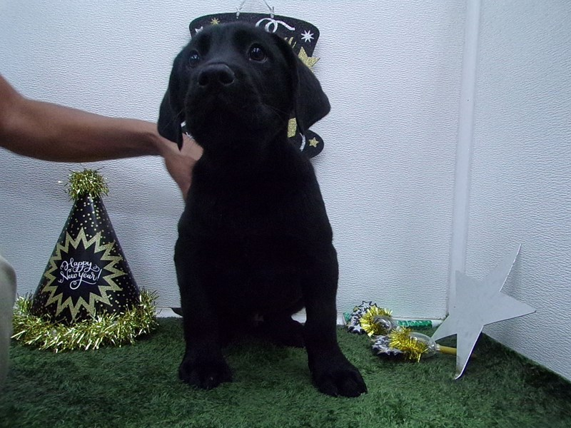 Labrador Retriever-Male-Black-2574512-Petland Orlando South