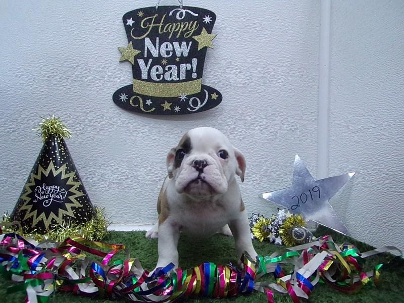 English Bulldog-Male-Red and White-2574535-Petland Orlando South