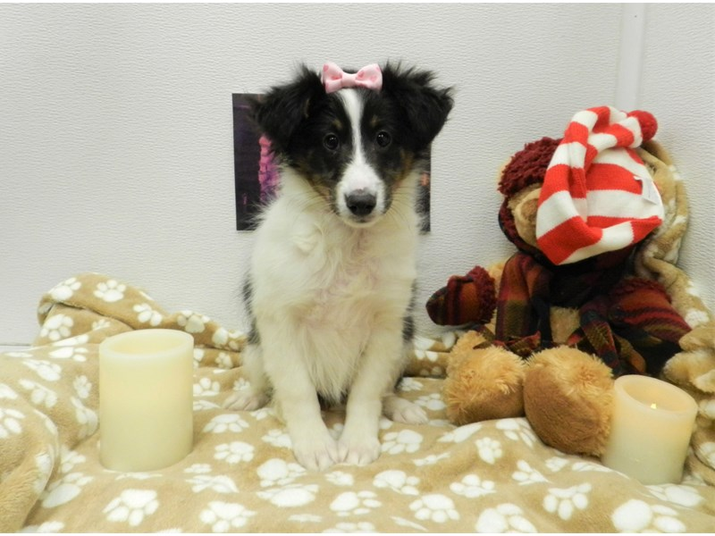 Shetland Sheepdog-Female-Black White and Tan-2581051-Petland Orlando South