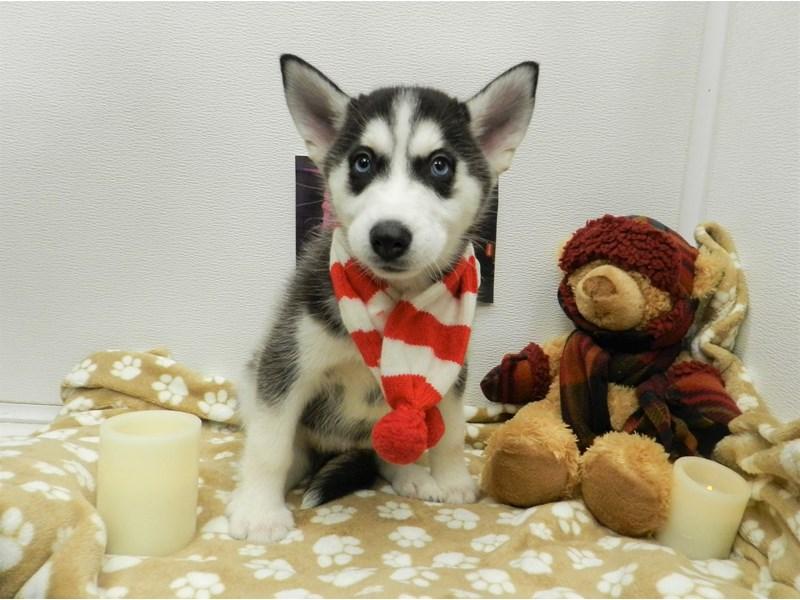 Siberian Husky-Female-Black and Tan-2583595-Petland Orlando South