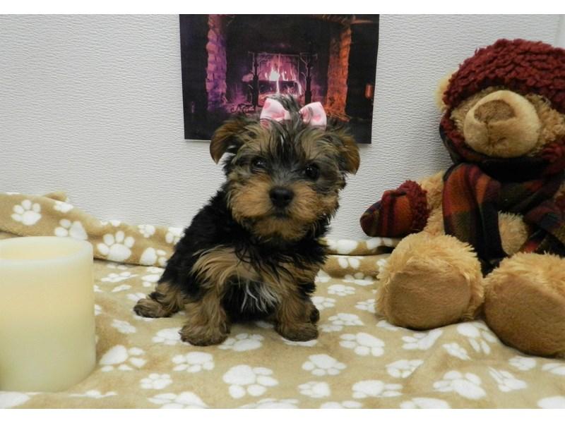 Yorkshire Terrier-Female-Black and Tan-2583590-Petland Orlando South
