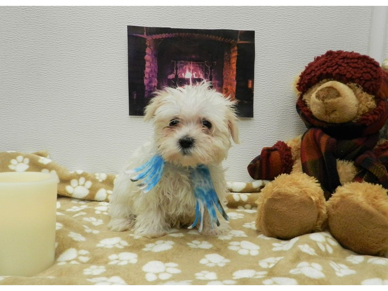 Maltese-Male-White-2583588-Petland Orlando South