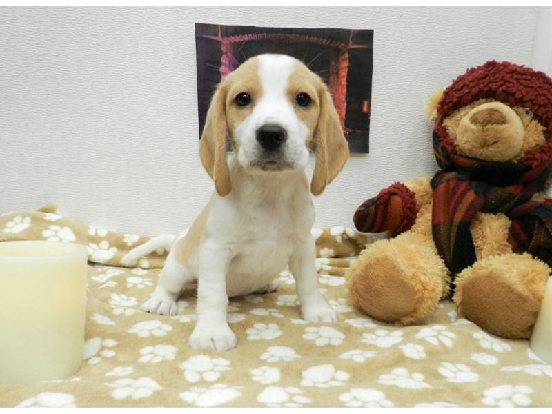 Beagle-Female-Lemon and White-2583544-Petland Orlando South