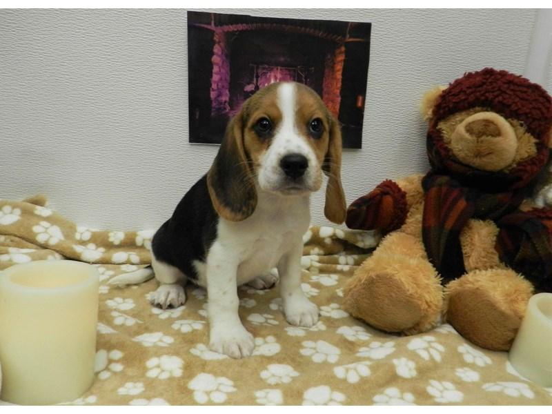 Beagle-Female-Tri-2583543-Petland Orlando South