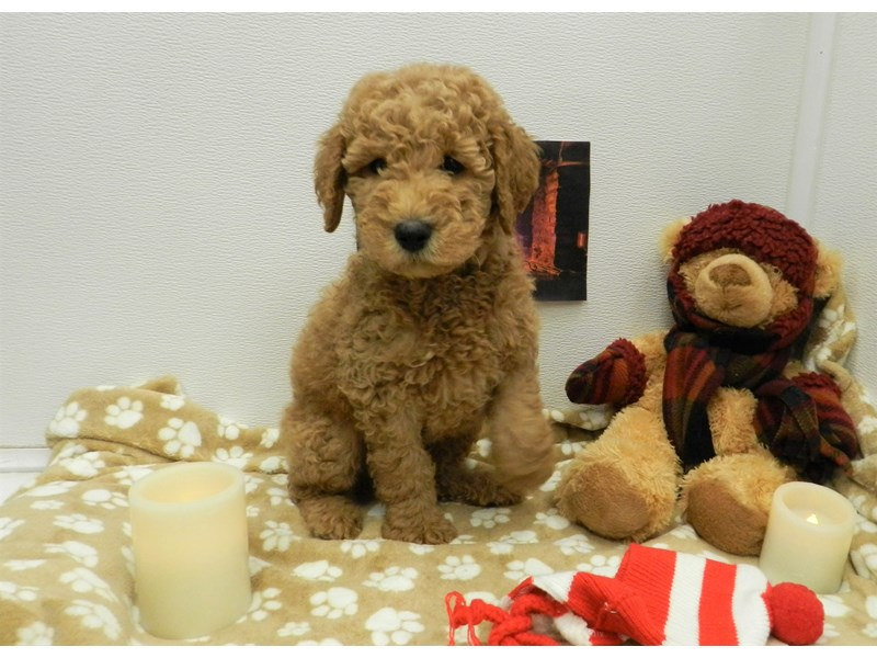 Goldendoodle-Male-Red-2583366-Petland Orlando South