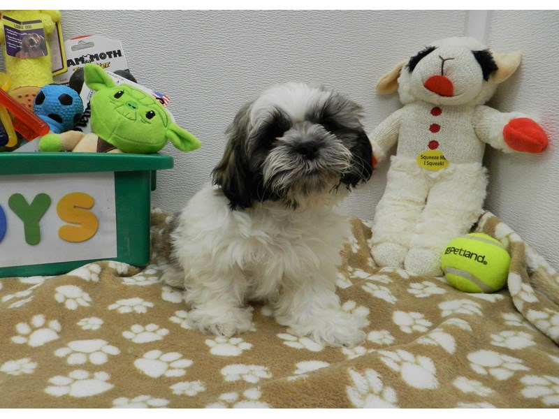 Shih Tzu-Male-Brindle Gold and White-2590613-Petland Orlando South