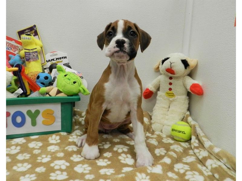 Boxer-Female-Fawn and White-2590586-Petland Orlando South