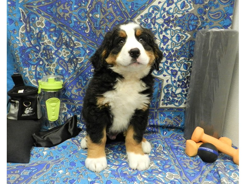 Bernese Mountain Dog-Male-Black Rust and White-2597383-Petland Orlando South