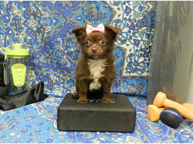 Chihuahua-Female-Chocolate-2598507-Petland Orlando South