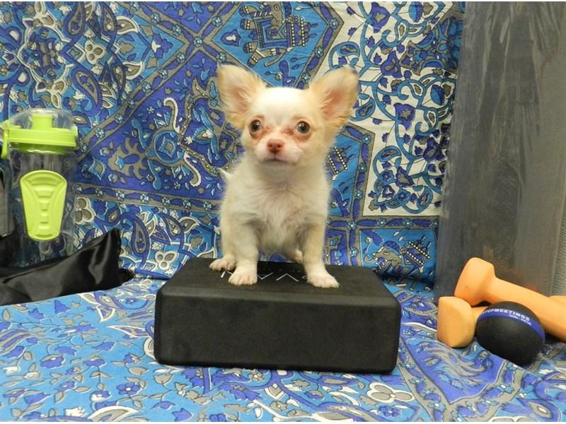 Chihuahua-Male-Cream and White-2598506-Petland Orlando South