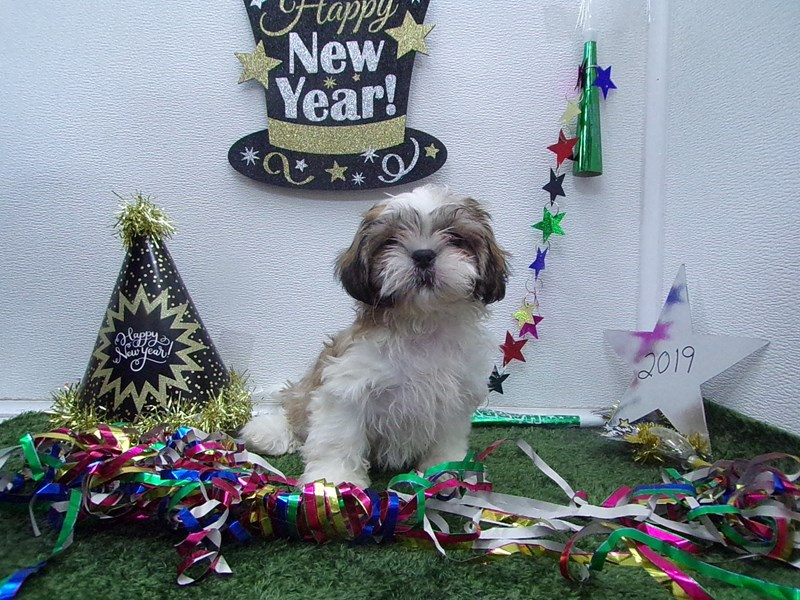 Shih Tzu-Male-White and Gold-2574963-Petland Orlando South