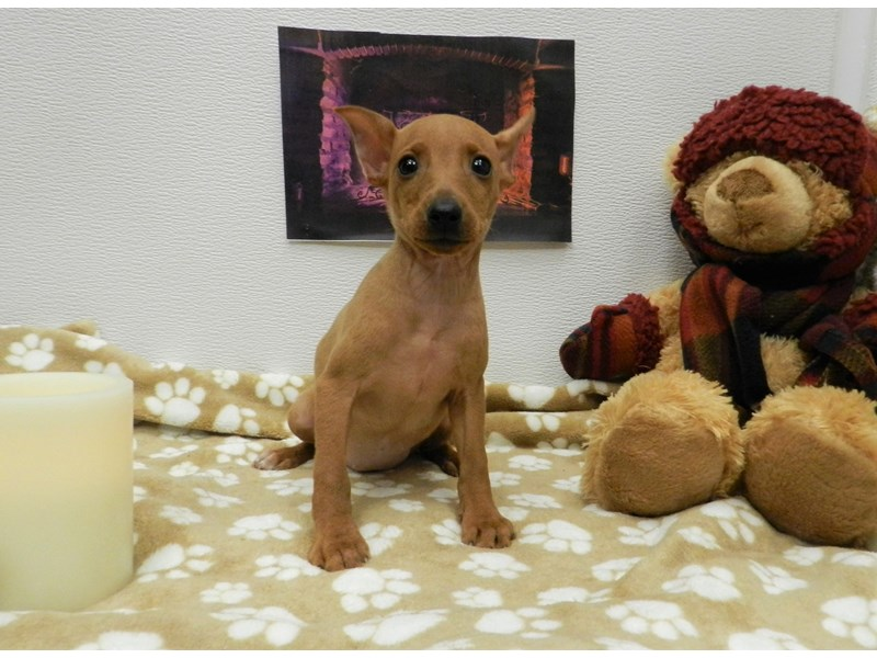 Miniature Pinscher-Female-Red-2583578-Petland Orlando South