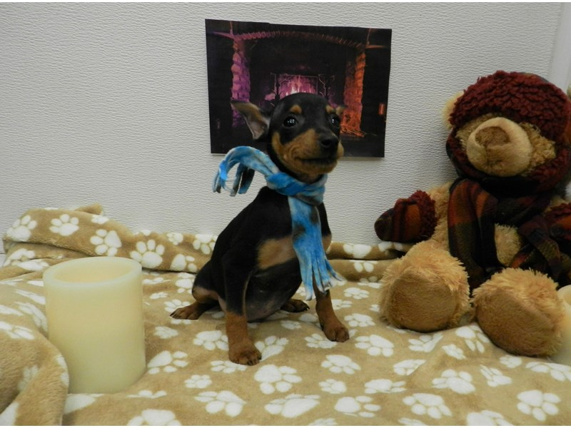 Miniature Pinscher-Male-Black and Tan-2583577-Petland Orlando South