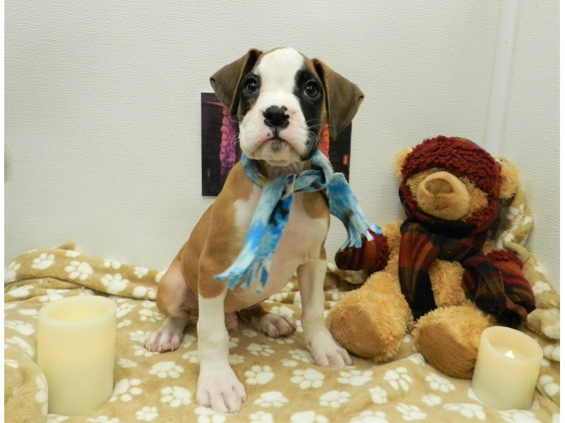 Boxer-Male-Fawn with White and Black Mask-2583546-Petland Orlando South