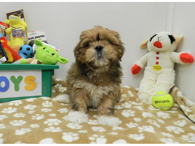 Lhasa Apso-Male-Golden-2589802-Petland Orlando South