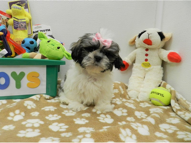Shih Tzu-Female-Brindle Gold and White-2590618-Petland Orlando South