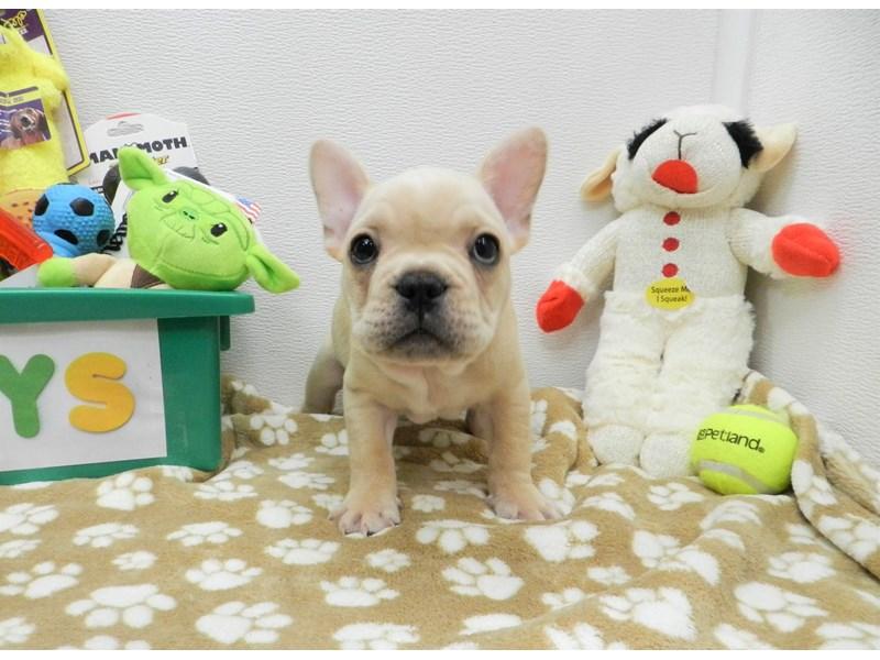 French Bulldog-Male-Cream-2590597-Petland Orlando South