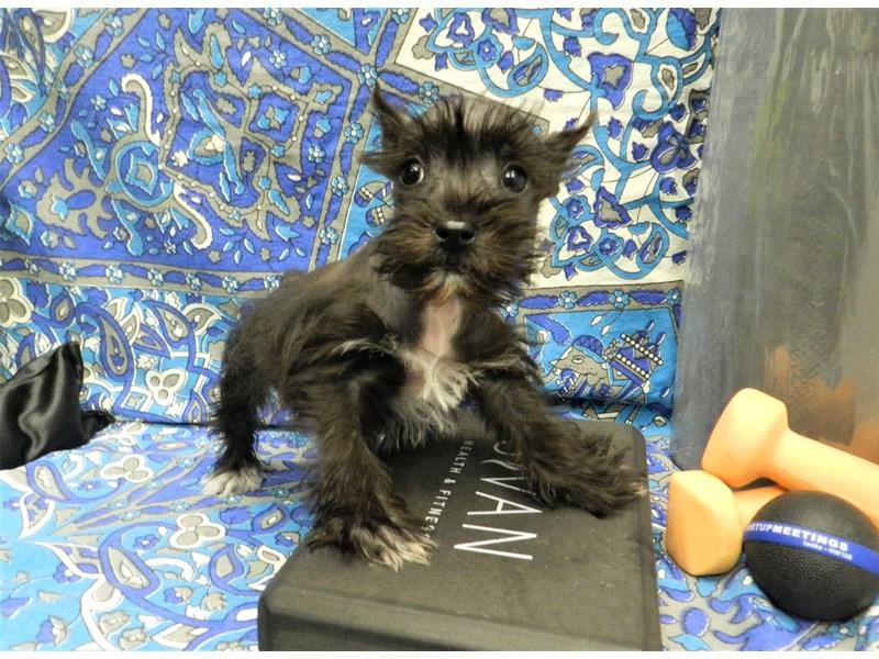 Miniature Schnauzer-Female-Black with White Markings-2598763-Petland Orlando South