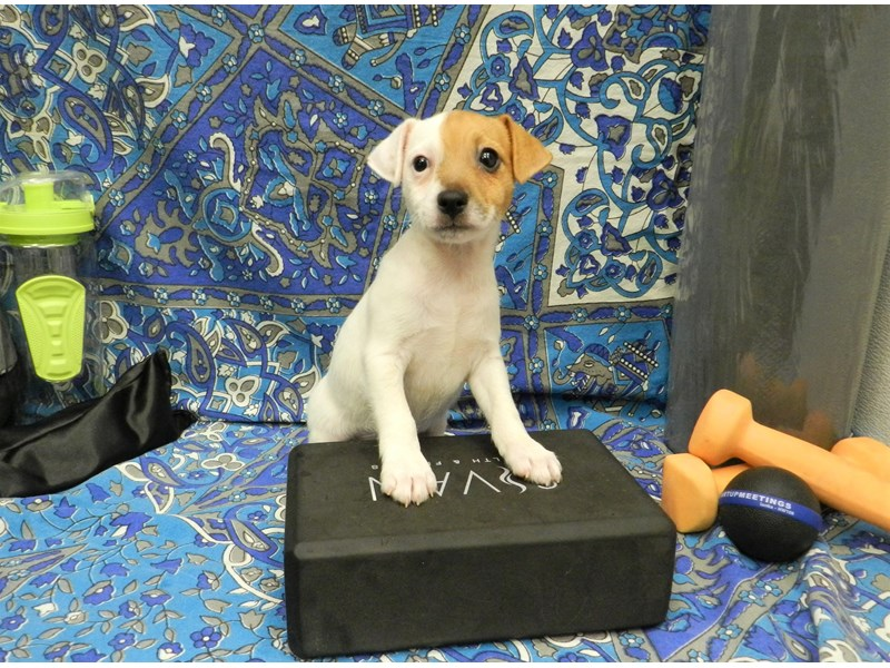 Jack Russell Terrier-Female-White and Tan-2597275-Petland Orlando South