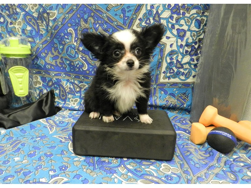 Chihuahua-Male-Black and White-2598503-Petland Orlando South