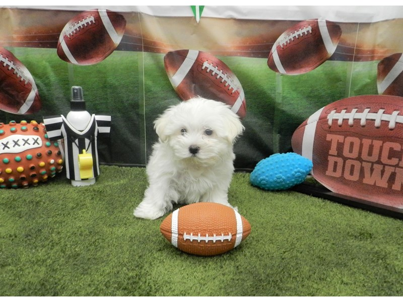 Maltese-Male-White-2606498-Petland Orlando South