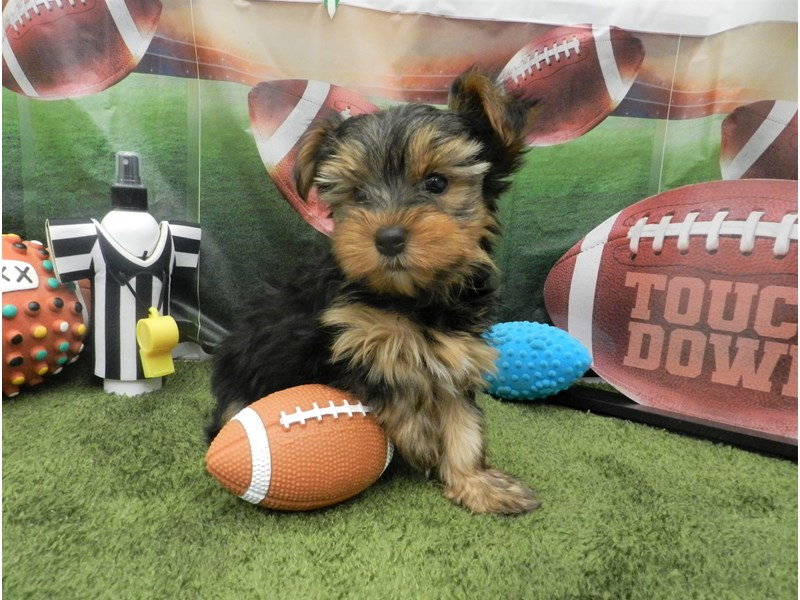 Yorkshire Terrier-Male-Black and Tan-2606494-Petland Orlando South