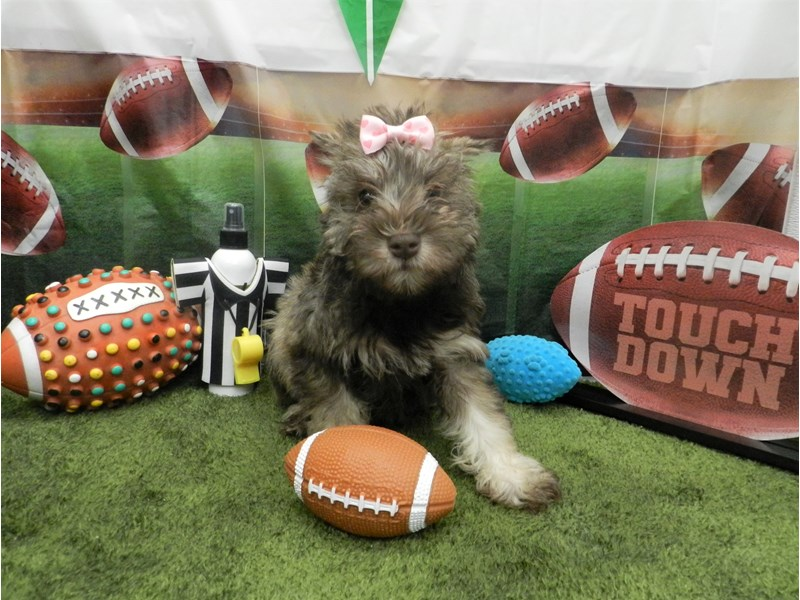 Schnoodle-Female-Chocolate and Tan-2606490-Petland Orlando South