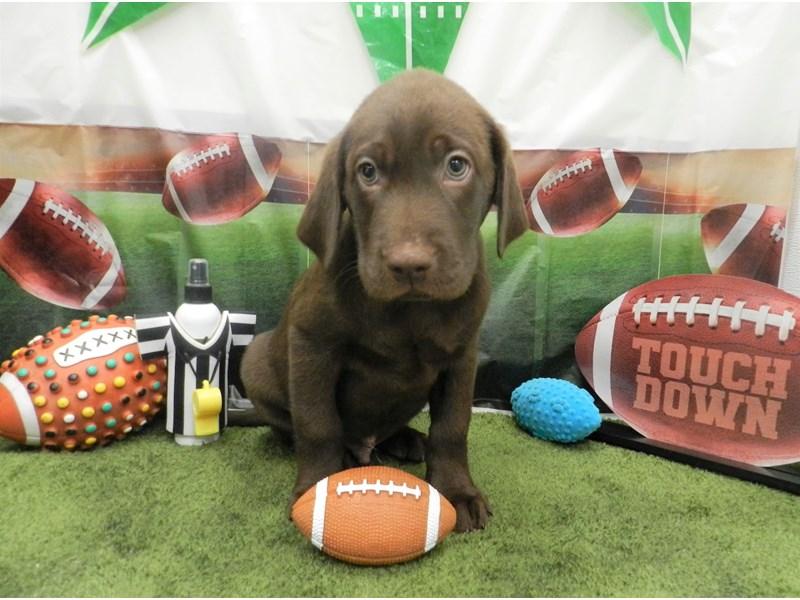 Labrador Retriever-Male-Chocolate-2606486-Petland Orlando South