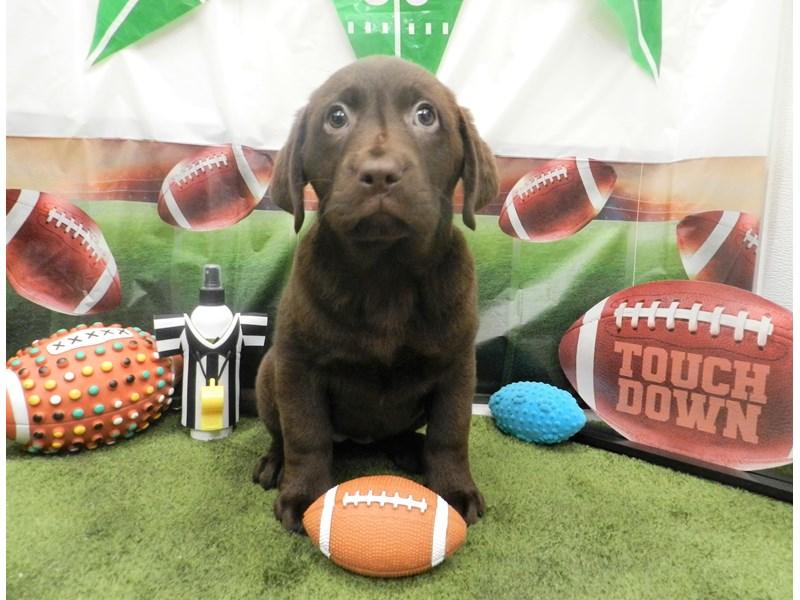 Labrador Retriever-Female-Chocolate-2606278-Petland Orlando South