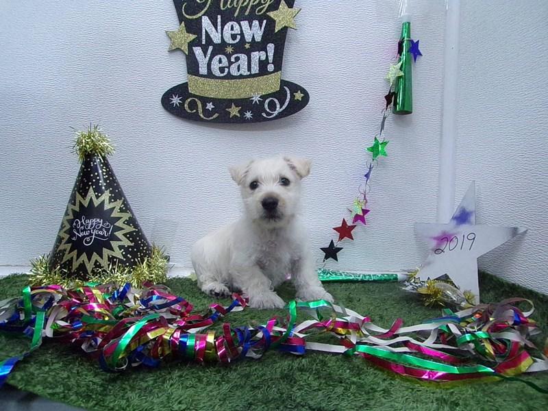 Scottish Terrier-Male-Wheaton-2574960-Petland Orlando South