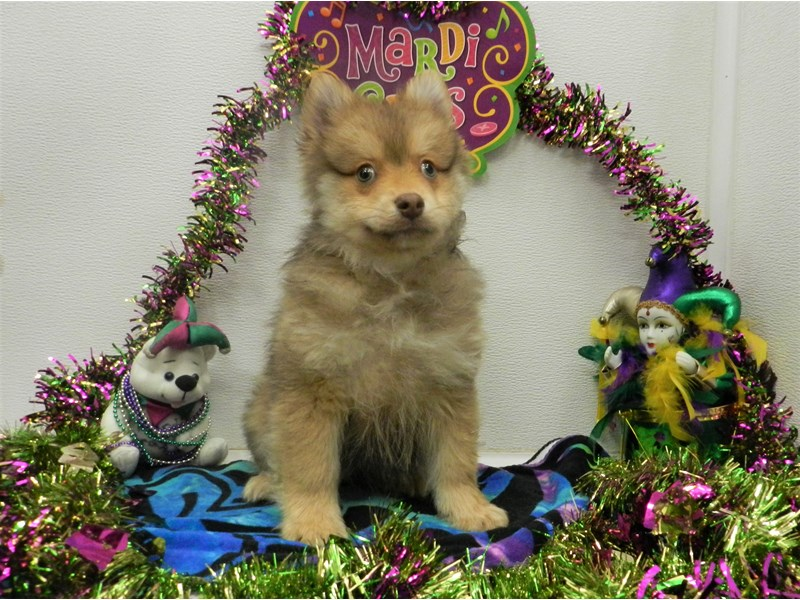 Pomeranian-Male-Chocolate and Gold with White Markings-2627760-Petland Orlando South