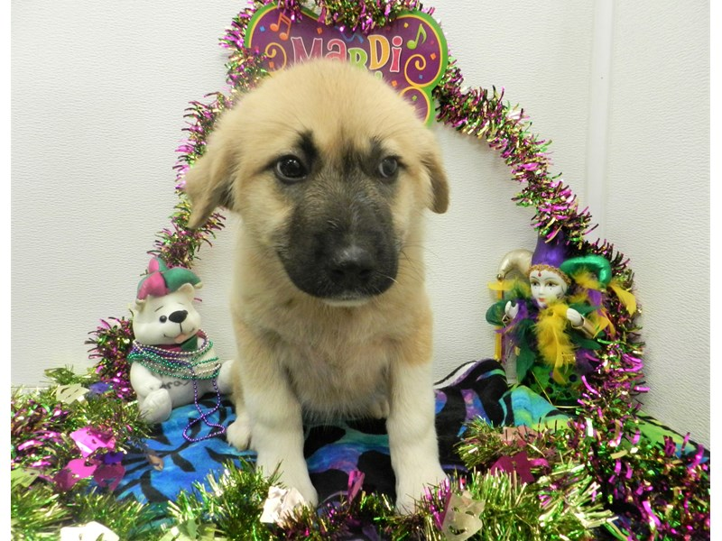 Great Pyrenees-Female-Fawn with Black Mask-2627330-Petland Orlando South