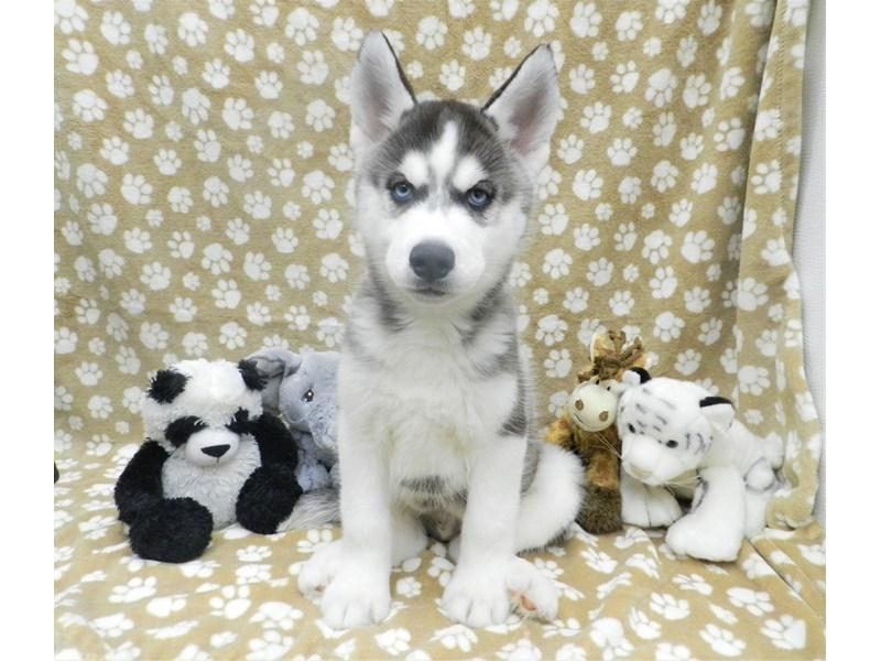 Siberian Husky-Male-Black and White-2633775-Petland Orlando South