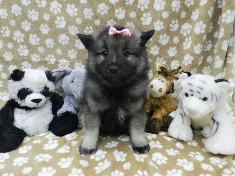 Keeshond-Female-Black and Silver-2635149-Petland Orlando South