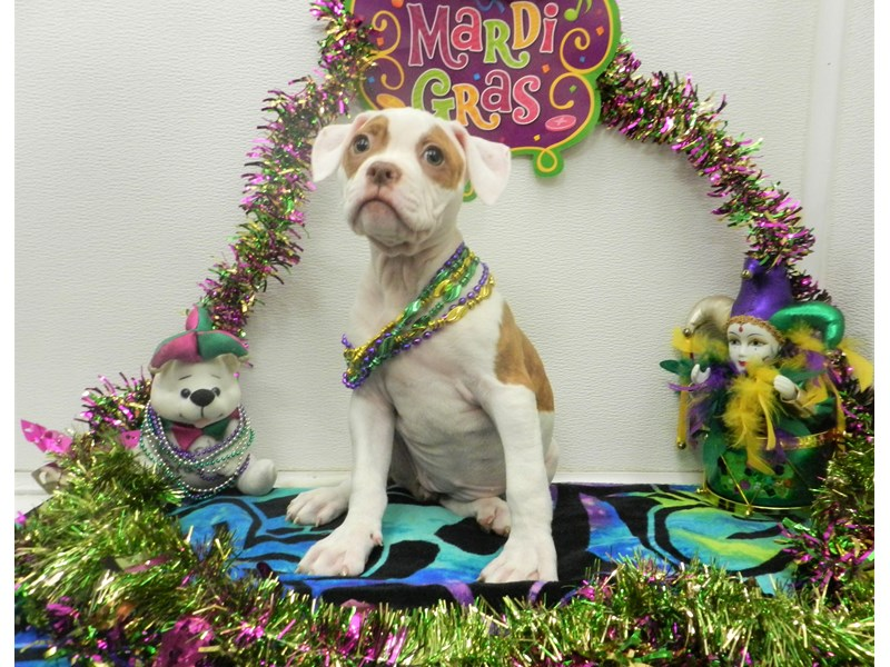 American Bulldog-Female-White and Red-2625819-Petland Orlando South