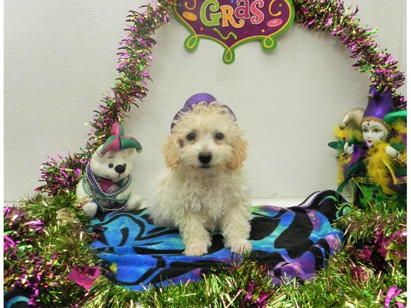 Poodle-Male-Cream-2625805-Petland Orlando South