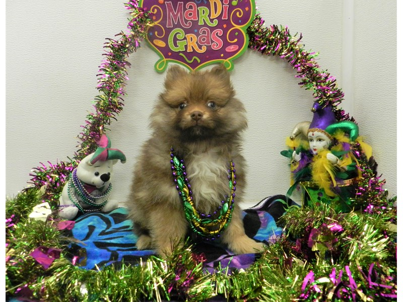 Pomeranian-Female-Chocolate and Gold with White Markings-2627757-Petland Orlando South